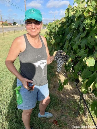 Laurie Harvesting Grapes