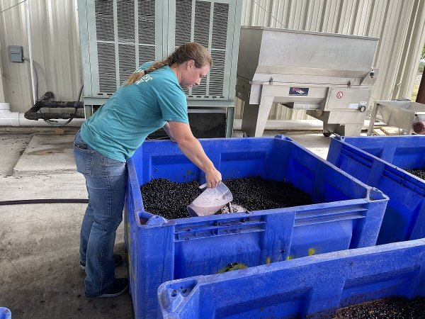 Starting fermentation of the Tannat