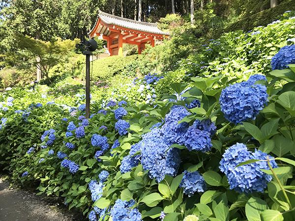 一面の紫陽花は圧巻です。6月9日~6月24日の間の土・日曜日は夜間ライトアップもあり。