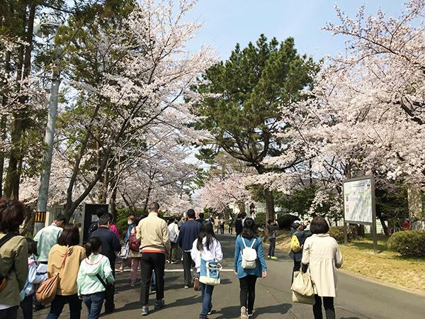 入場門をくぐると早速、綺麗な桜がお出迎えです。女性の参加者の多さに驚きました!