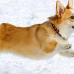 Bật mí chi tiết chó Pembroke Welsh Corgi là gì?