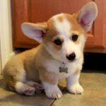 Giải đáp có nên nuôi chó Corgi lai không?