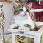 Giúp bạn giải đáp thắc mắc về giống mèo nào to nhất hiện nay