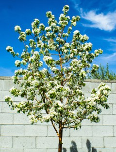 Boise Blooming Tree 3 (Optimized)