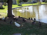14 Ducks Out of Water