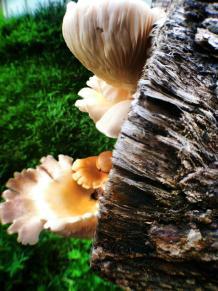 Oyster mushrooms_8