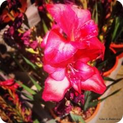 Gladiola bloom