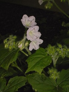 Hydrophyllum appendiculatum