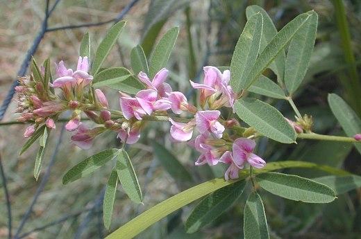 Lespedeza virginica