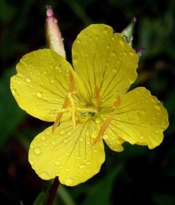Oenothera fruticosa