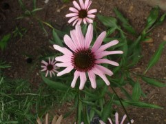 Echinacea tennesseensis