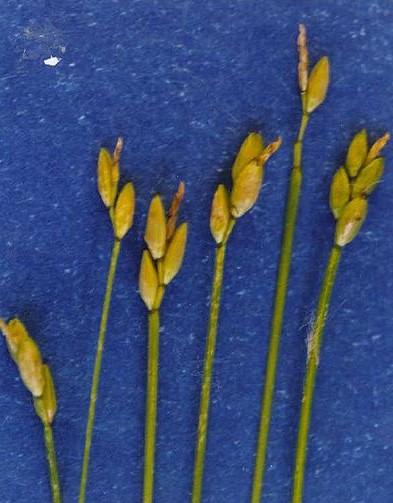 Carex leptalea