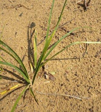 Carex muehlenbergii