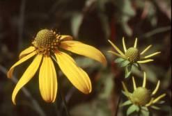 Rudbeckia laciniata