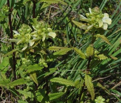 Pedicularis lanceolata