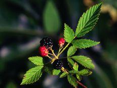Rubus flagellaris