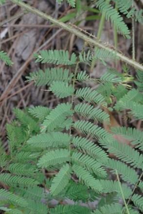 Mimosa microphylla