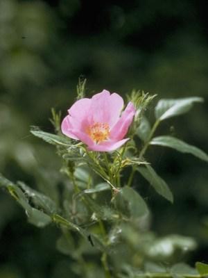 Rosa carolina