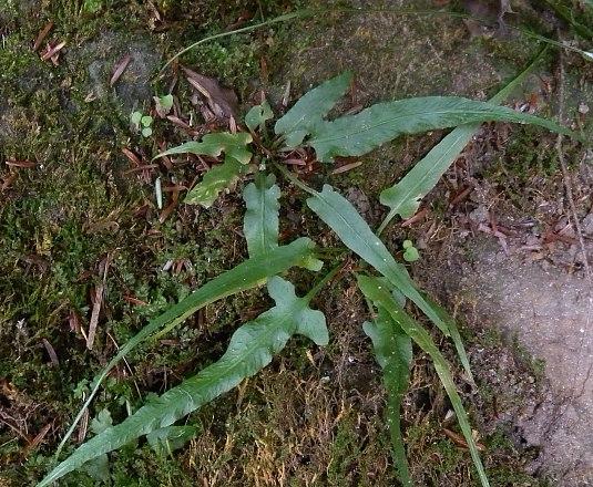 Asplenium rhizophyllum (Camptosorus rhizophyllus)