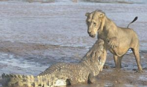 fight between a lion and a crocodile