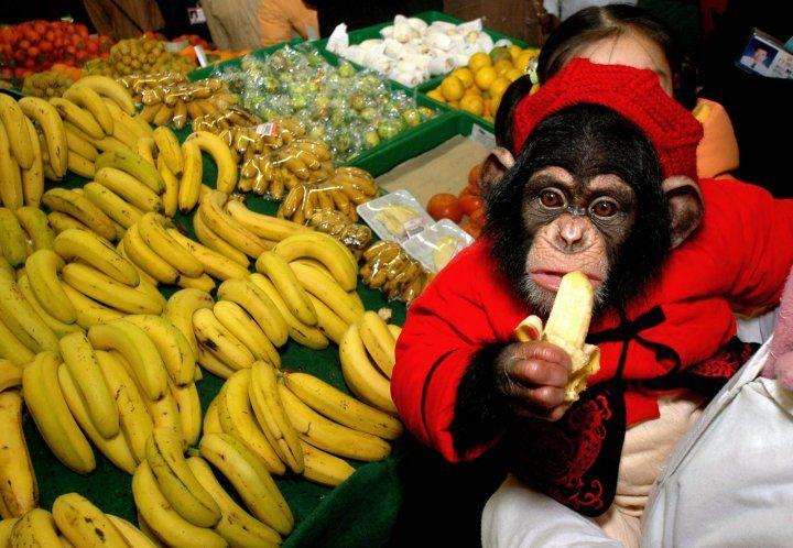 Kohler insight learning on chimpanzee