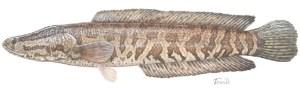 snakehead (USGS, Susan Trammel)