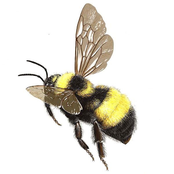 bumble-bee-bombus-auricomus