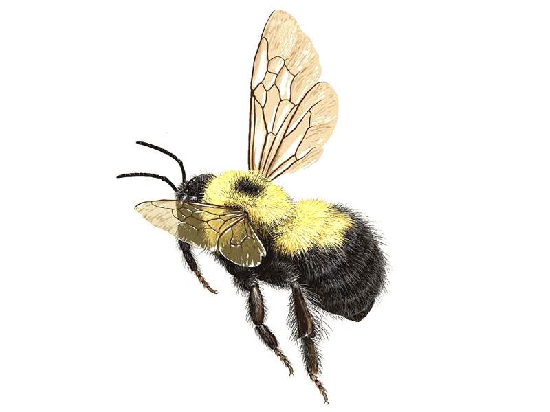 bumble-bee-bombus-bimaculatus
