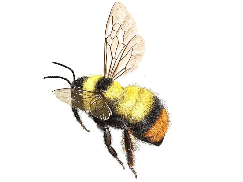 bumble-bee-bombus-frigidus