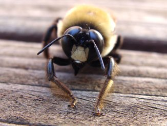 do carpenter bees sting