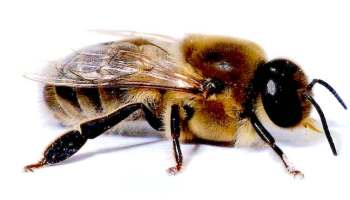 Ground Bees - signs of ground bees and what to do