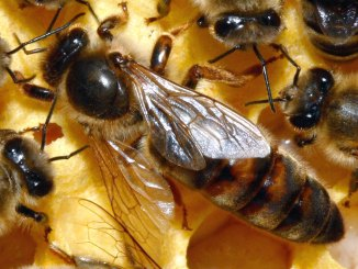 types of bees queen bee