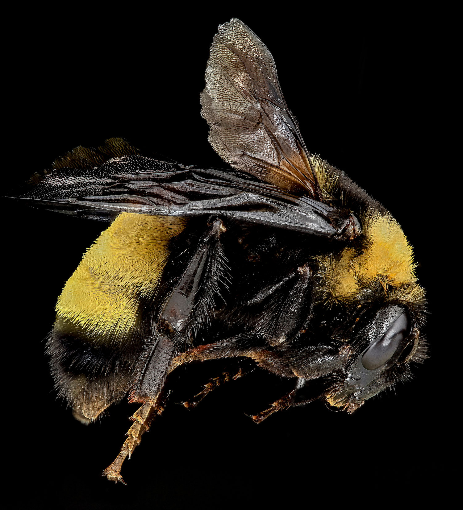 Types of Bees: Bumble Bee, Bombus auricomus