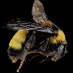types of bee bumble bee