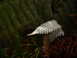 Silver fern on the walk from Opoutere
