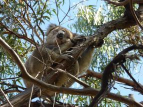 065. Koala bear on Raymond Island