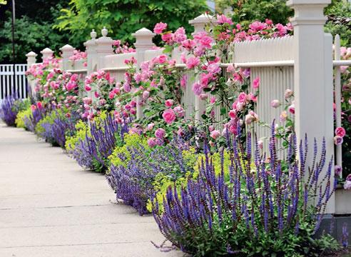 Сальвия многолетняя (шалфей): фото цветов, сорта, когда ...