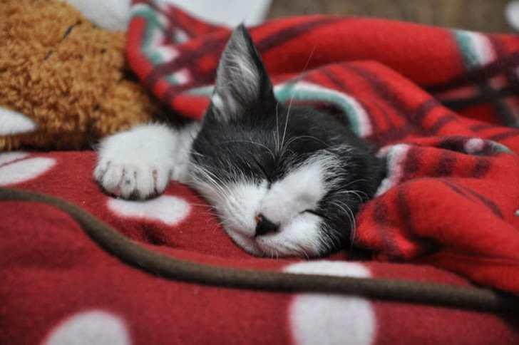 寝ているハチワレ子猫ちゃん