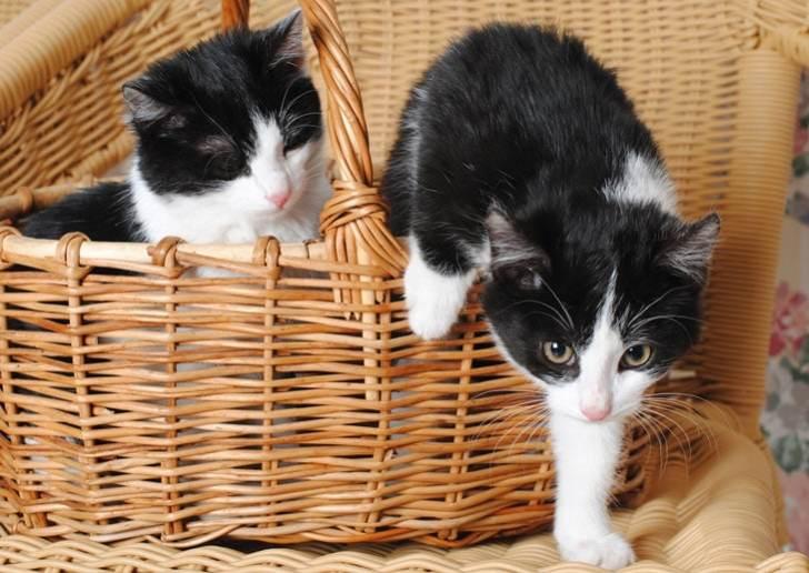 ハチワレ子猫ちゃんの兄弟