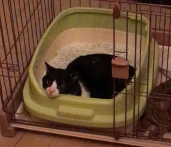 トイレで寝るハチワレ猫