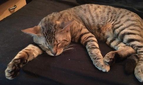キジトラ猫 睡眠