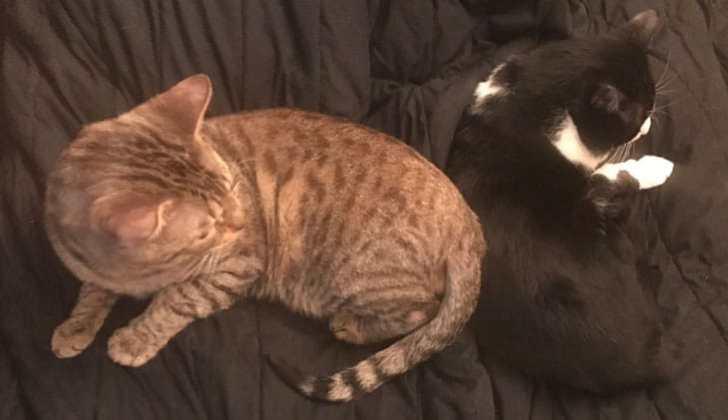キジトラ猫 ハチワレ猫 仲良し