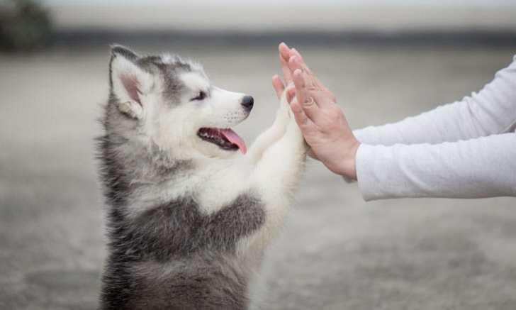 ハイタッチするシベリアンハスキーの子犬