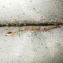 bed bugs, fecal spotting and eggs on furntiure