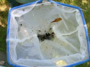 Insect specimens collected with yellow pan traps. That's one sample.