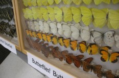 Butterfly display prepared by Sara Hemly. 2008