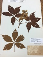 Leaves of common buckeye tree at the Herbarium