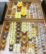 Butterflies collected long ago, but pinned only recently