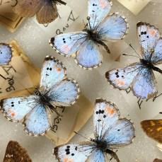 Tiny blue butterflies