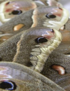 Detail of the wing of Saturniidae moths